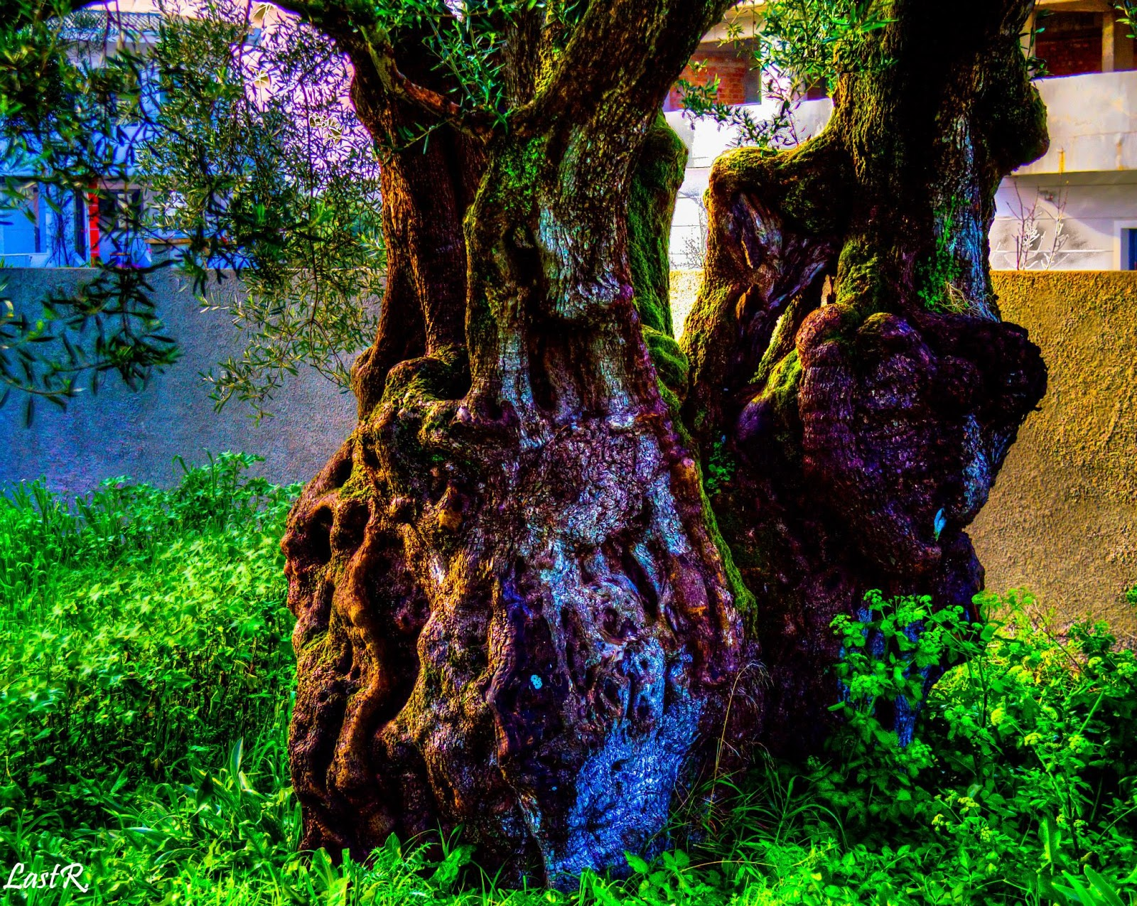 Ένα δέντρο στην Ζάκυνθο. Photo Credit: Last Reflection